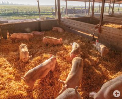 Schweine auf Stroh mit Auslauf